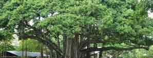 बरगद वृक्ष