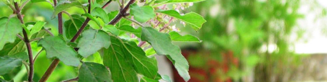 astroYogi: Significance of the Tulsi Plant